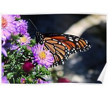 Butterfly on Asters II Poster