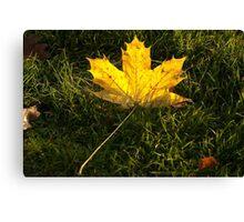 A fallen maple leaf in the sun Canvas Print