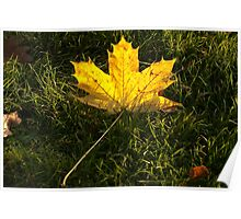 A fallen maple leaf in the sun Poster