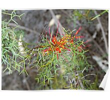 Grevillea in the Park #1 Poster
