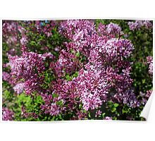 Under the Lilacs Poster