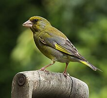 Greenfinch on old wooden garden fork handle. by Mick Gosling