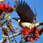 Noisy Friabird, Urunga NSW by cs-cookie