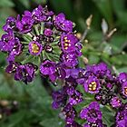 Small purple flowers Leith Park Victoria 20160601 7050 by Fred Mitchell