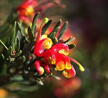 Ground Cover Grevillea by Joy Watson