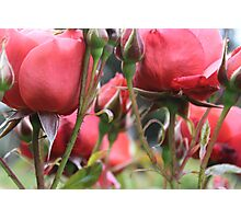 Through the Roses Photographic Print