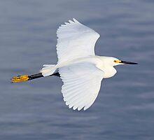 Snowy Egret in flight by jozi1