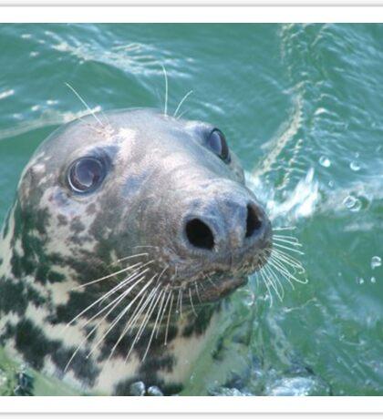 Grey Seal Sticker