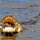 Alligator Swallowing a Blue Crab by TJ Baccari Photography