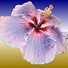 Hibiscus Colours by Margaret Stevens