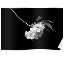 Japanese Cherry Tree Blooms Poster