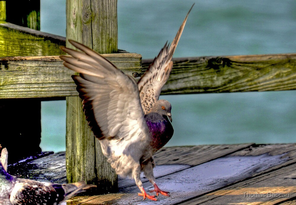 Pigeon Landing by TJ Baccari Photography