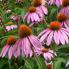Coneflowers July 2014 by Jane Neill-Hancock