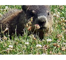Groundhog, Montreal Photographic Print