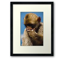 Hungry Barbary macaque Framed Print