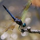 Basking (Blue Dasher) by Grinch/R. Pross