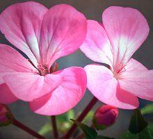 Pink Pelargonium by Terence Davis
