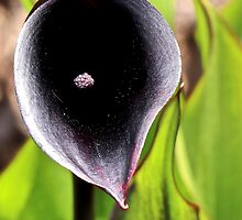 Black Lily by John Thurgood