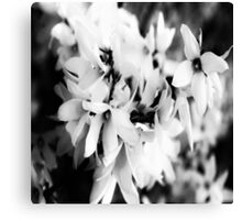 Forsythia in BW Canvas Print