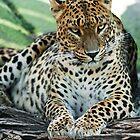 Sri Lankan Leopard by Monika Nakládalová