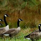 Geese Galore by Mechelep