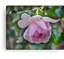 Rose, Not yet faded....... Canvas Print