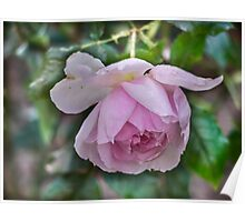 Rose, Not yet faded....... Poster