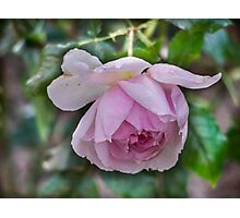 Rose, Not yet faded....... Photographic Print