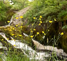 Beezley Through the Buttercups by Sue Knowles