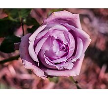 The Lilac Rose Photographic Print