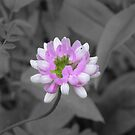 Crown Vetch (selective coloring) by Martha Medford