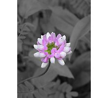 Crown Vetch (selective coloring) Photographic Print