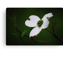 Dogwood Tree Blossom Canvas Print