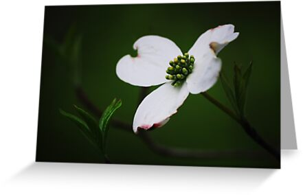 Dogwood Tree Blossom by Laurie Minor
