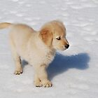 """Golden Retriever Puppy's First Winter"" by Laurie Minor"