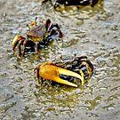 A Fiddler Crab by imagetj