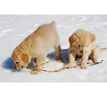 Golden Retriever Puppies First Winter #2 Photographic Print