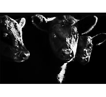 Cow With Calves #2 Photographic Print