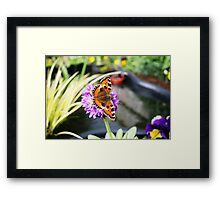 Butterfly on Primula Denticulata Flower Framed Print