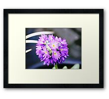 Primula denticulata in bloom Framed Print