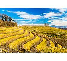 Vineyard in late winter Photographic Print