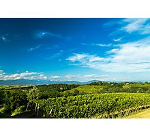 gravepine fields in the italian countryside Photographic Print