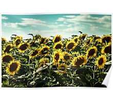 sunflowers field in a summer day Poster