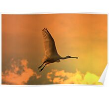 Spoonbill Stork - Sunset Flight of Color - African Wild Birds Poster