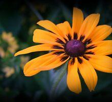 Front Yard Gloriosa Daisy by kkphoto1