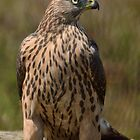 Juvenile Female Northern Groshawk ( Accipiter gentilis) - I by Peter Wiggerman