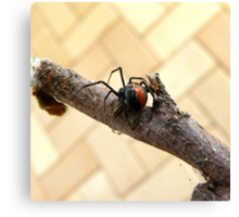 Where to Now ... Redback Spider : Latrodectus hasselti Canvas Print