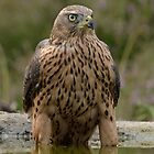 Juvenile male Northern Groshawk ( Accipiter gentilis) - I by Peter Wiggerman