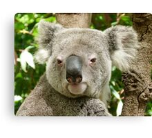 Koala, Birdland Animal Park Canvas Print