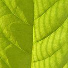 Avocado Leaf by elasita